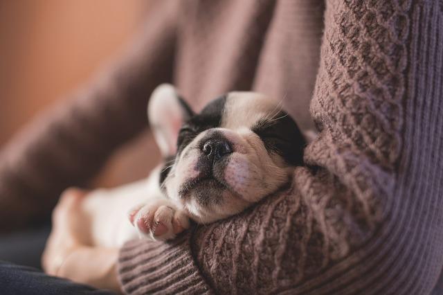 Hundehvalp sover på ejers arm.