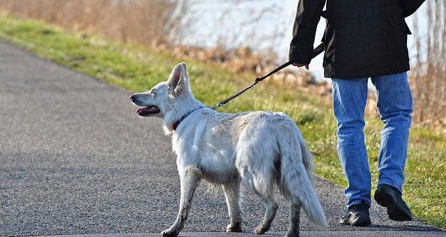 Sådan lærer du din hund at gå pænt